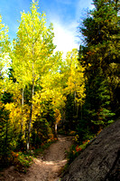 pine tree and aspens turning color on a colorado hiking trail